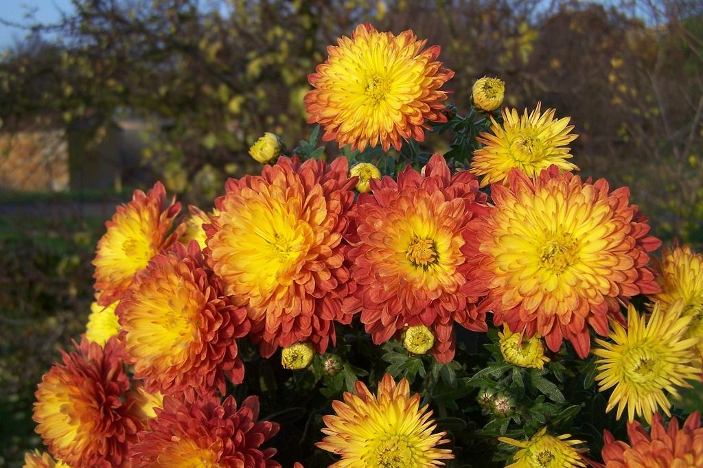 Chrysanthemum indicum - chryzantéma, listopadka