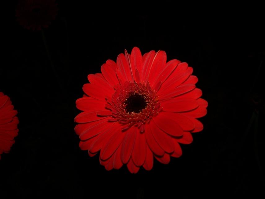 Gerbera - řezané květy